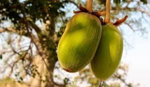 plody baobabu zaklad baobavoveho oleja